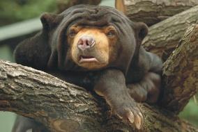 Medvěd malajský