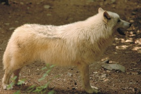 Vlk akrtický